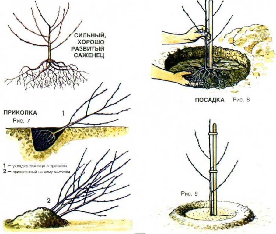 Как вырастить вишню на Урале