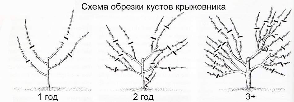 Крыжовник для начинающих посадка