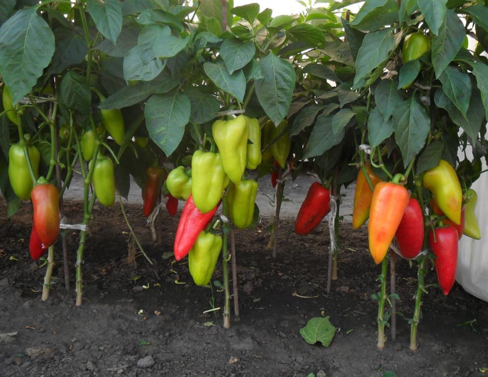 Красный болгарский перец выращивание 25