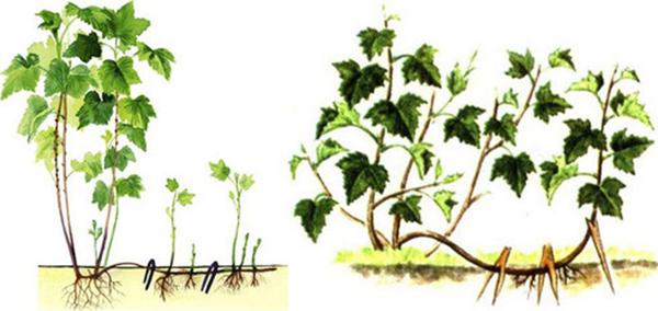 Выращивание смородины штамбовым способом 55