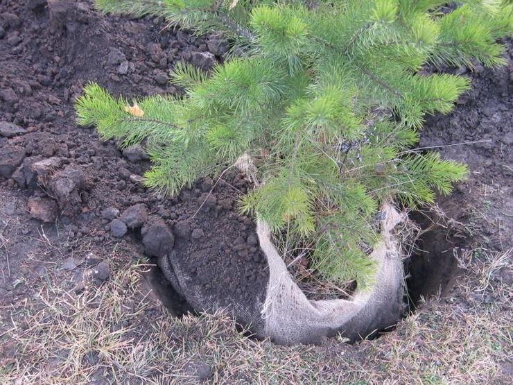 Как сажать сосну из леса на участок 98