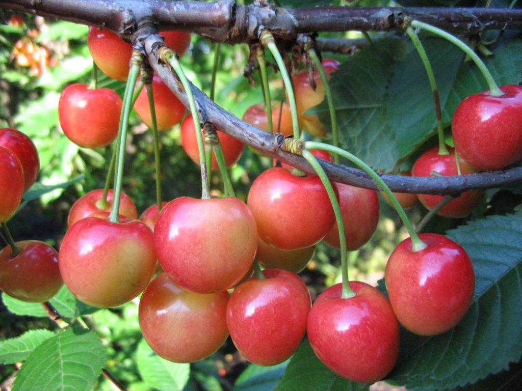 Выращивание черешни в омске