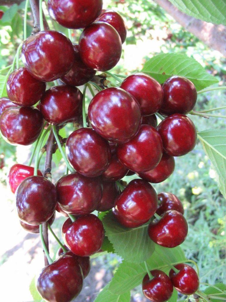 Выращивание черешни в омске 72