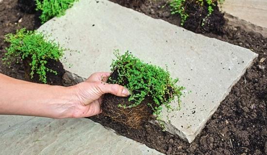 Выращивание тимьяна в открытом грунте 957