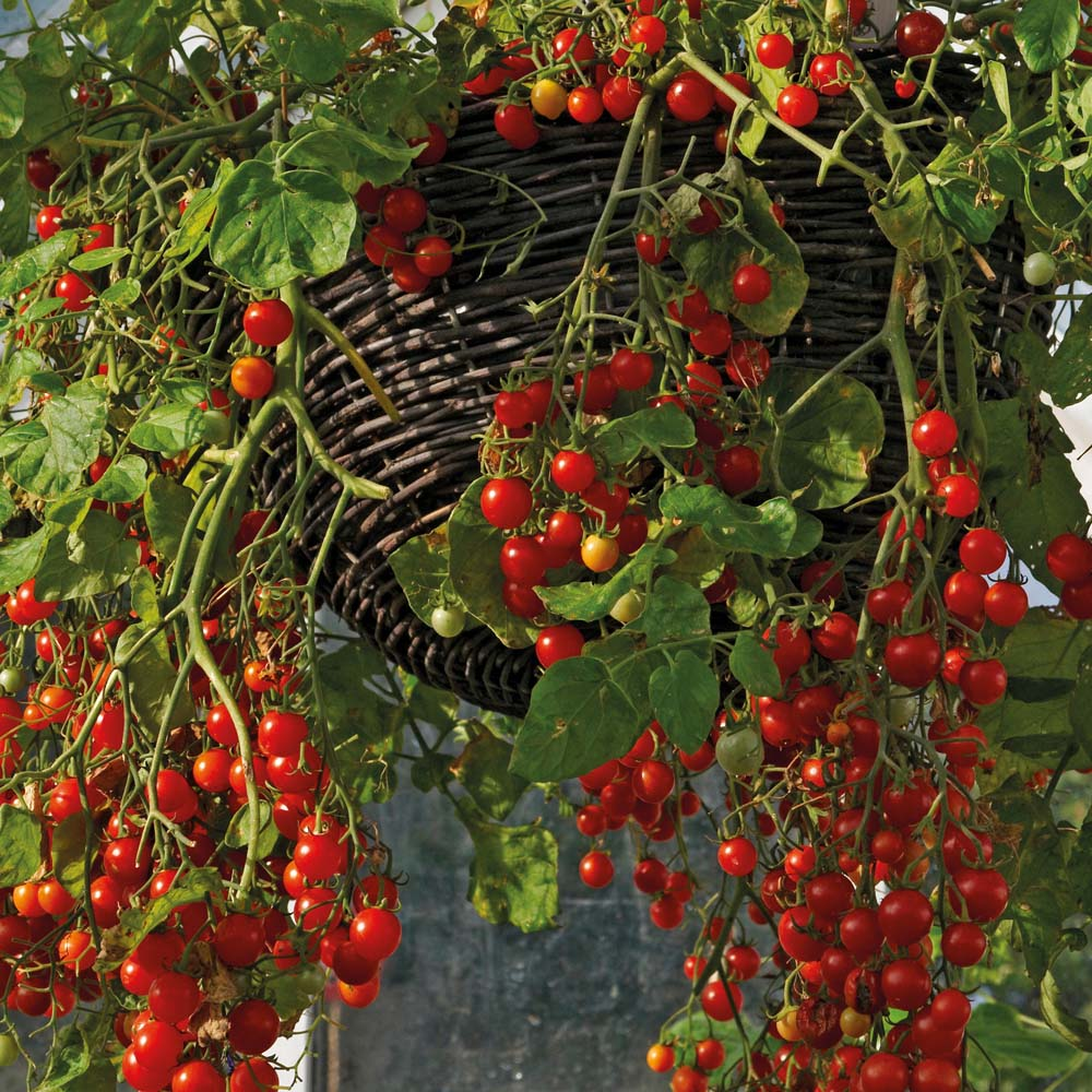 Помидоры черри, посадка и уход. особенности выращивания и ух.