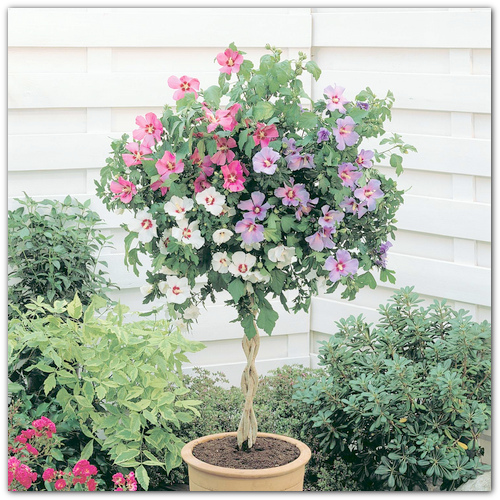 Гибискус садовый древовидный выращивание и уход 49