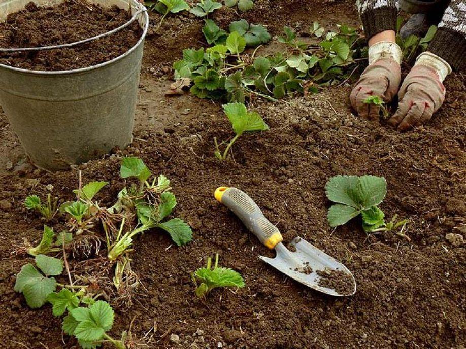 Садовый гибискус уход и размножение, сорта, фото