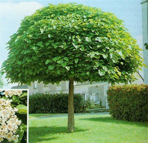 катальпа растение фото