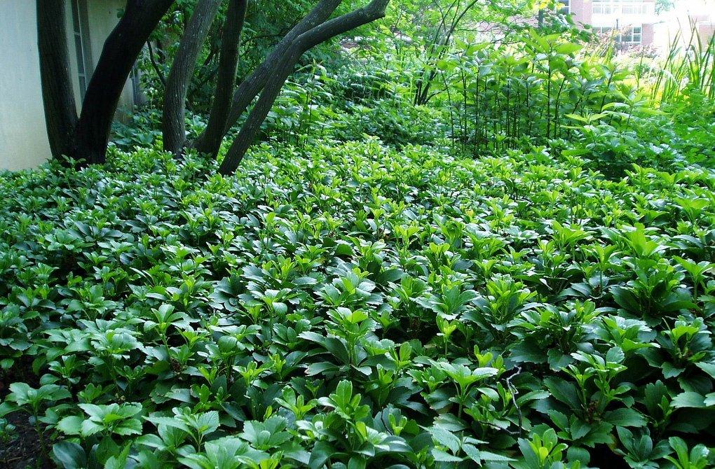Пахизандра выращивание и уход фото 73
