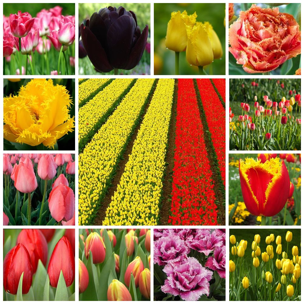 Цветок тюльпан сорта