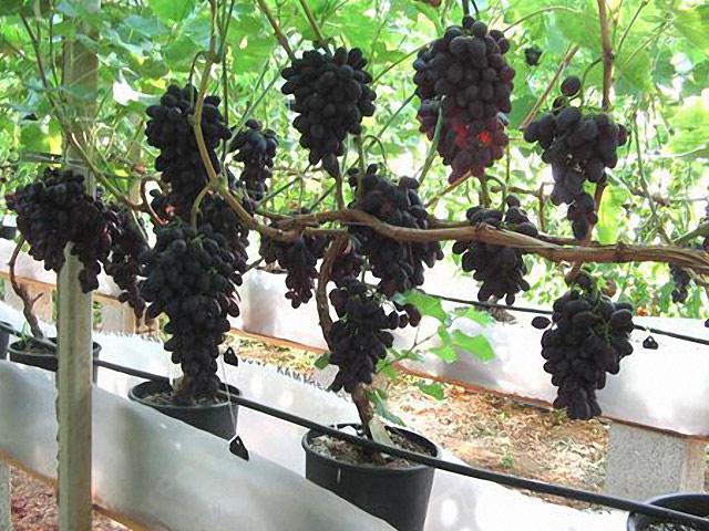 Выращивание винограда в домашних условиях 647