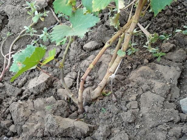 Как сажать виноград корнями