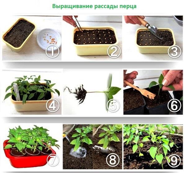 Как посадить правильно семена перца на рассаду 93