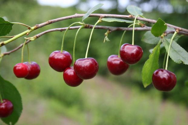 Выращивание черешни в омске 81