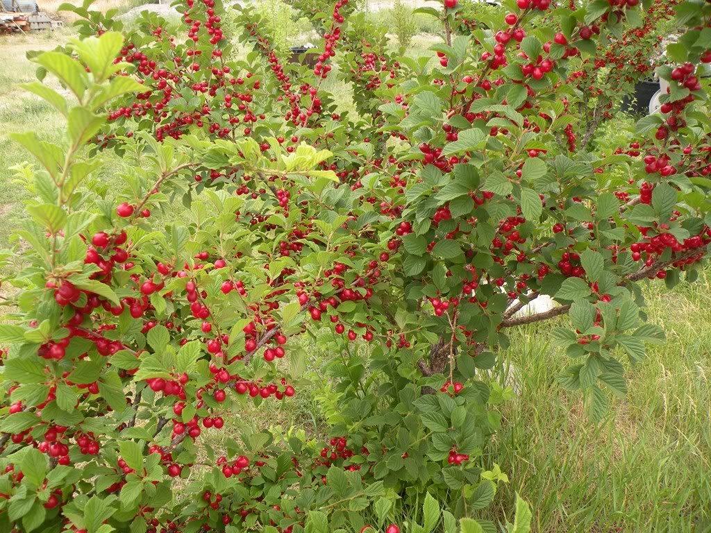 Войлочная вишня: описание сорта, посадка, выращивание и уход