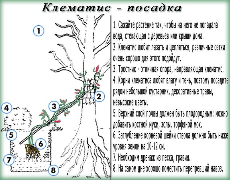 Посадка клематисов весной или осенью: когда и как посадить