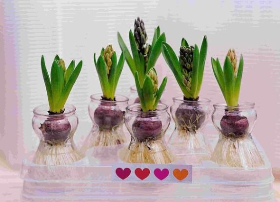 Как сажать луковичные цветы в горшок 81