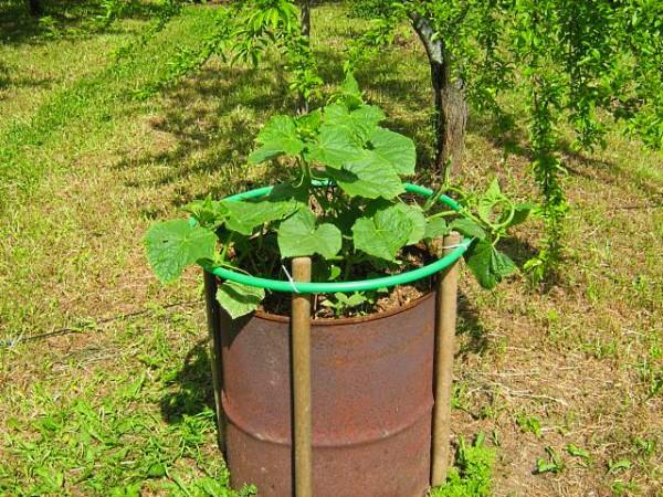 Выращивание фасоли в бочке 28