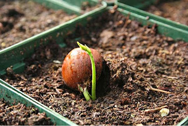 Выращивание фундука в домашних условиях с орехами