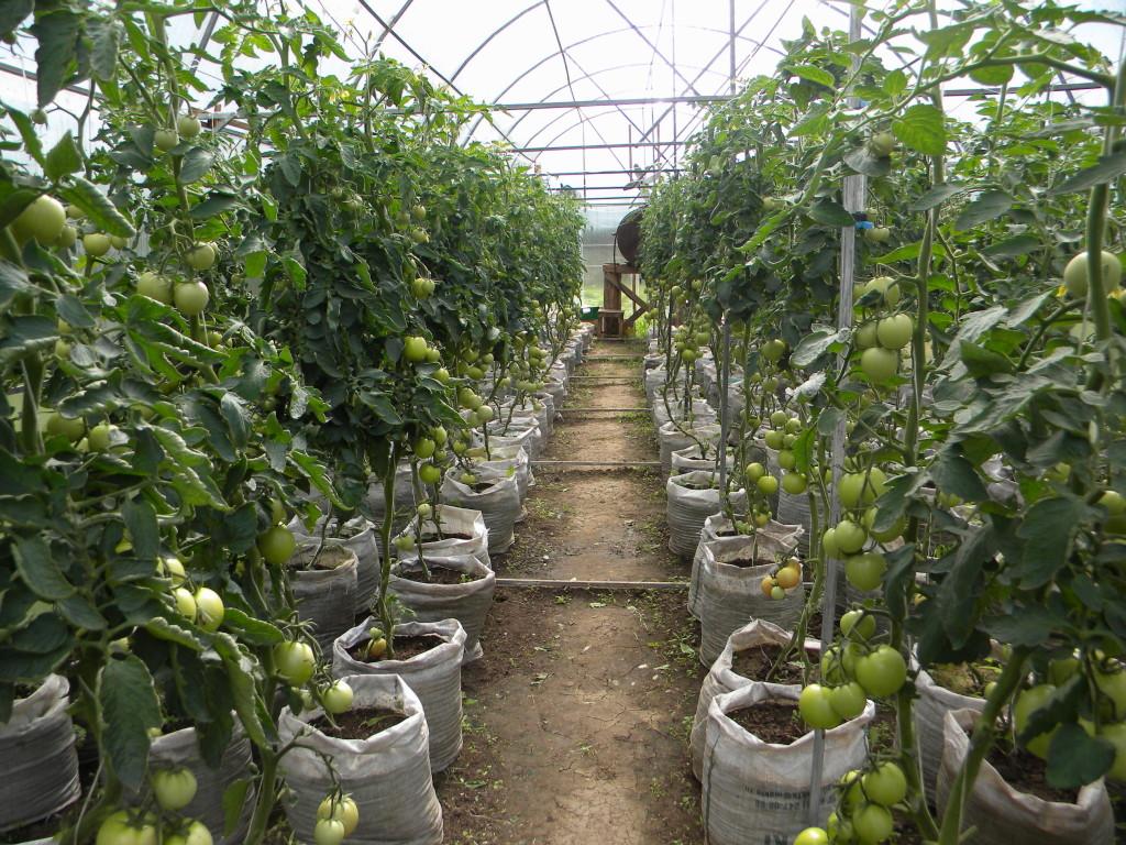 Когда сажают в теплицу помидоры 166