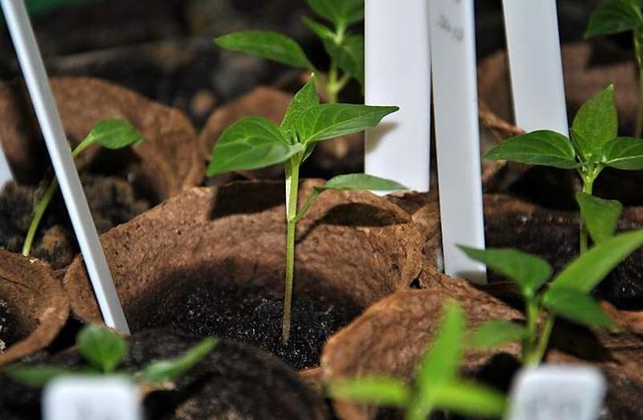 Можно ли сажать перец из своих семян 268