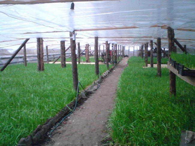 Как вырастить зеленый лук. Выгонка зеленого лука. Как вырастить зеленый лучок в любое время года