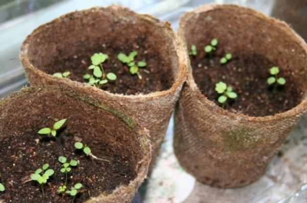 Выращивание из семян виктории 865