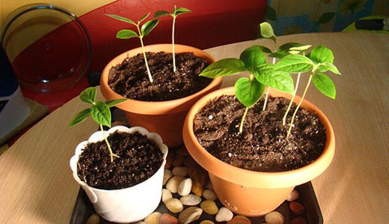 Хурма из косточки выращивание в домашних условиях