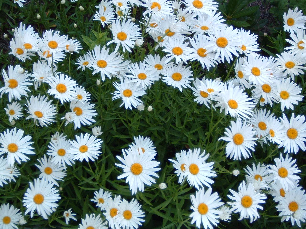 Цветок ромашка посадка и уход