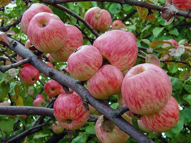 фото мельба яблоня