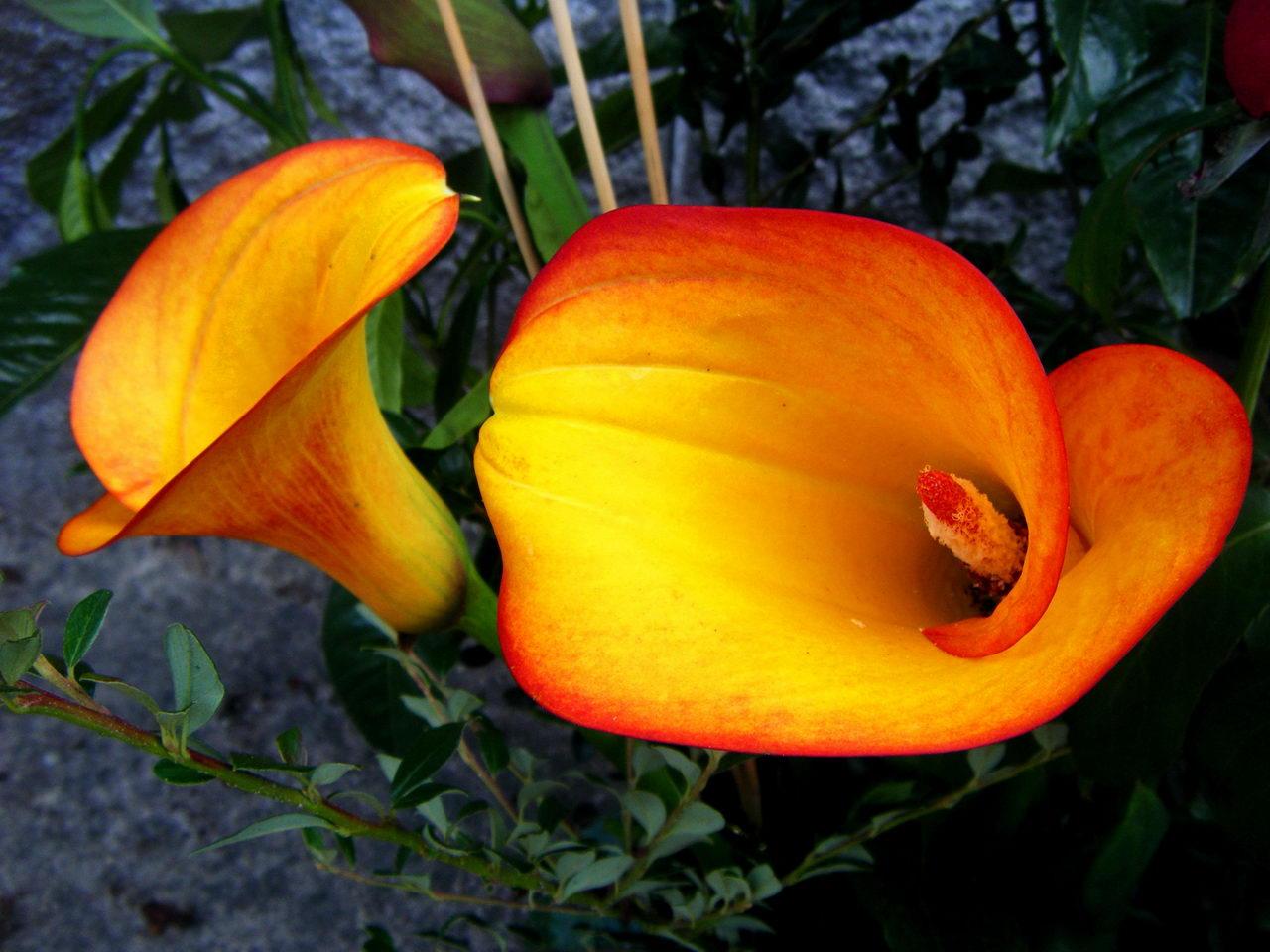 Разновидность цветка калла