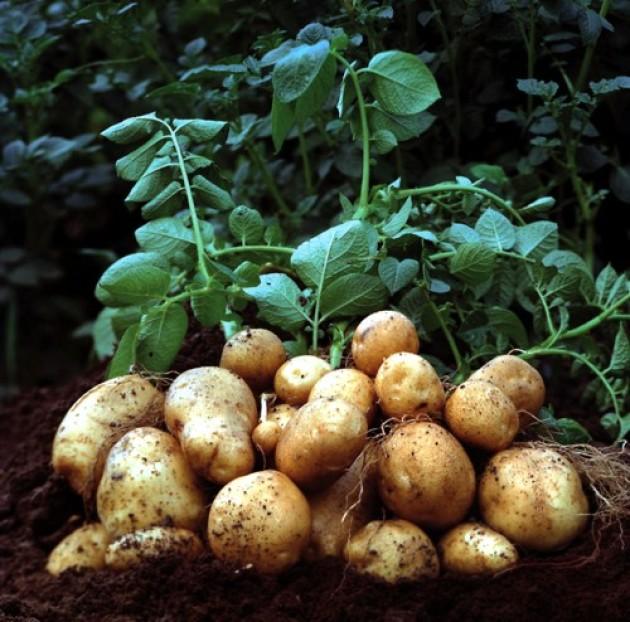 Картофель. Посадка, выращивание и уход