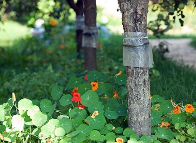 Ловчие пояса для плодовых деревьев своими руками