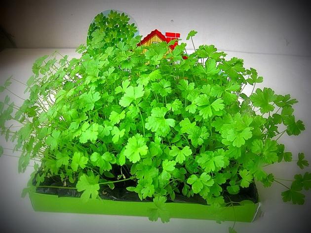 Выращивание петрушки в домашних условиях 6