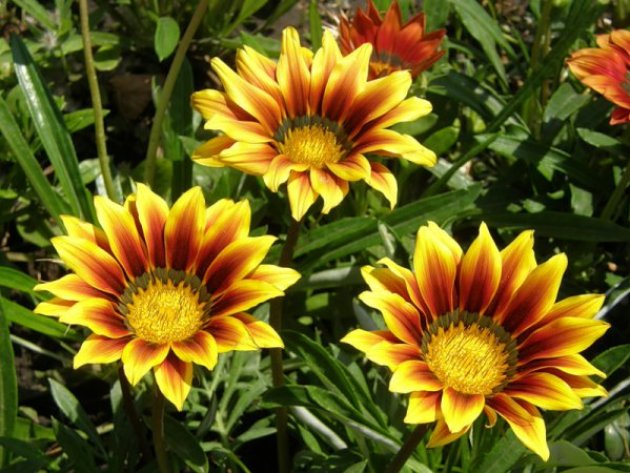 Гарциния уход и выращивание 22
