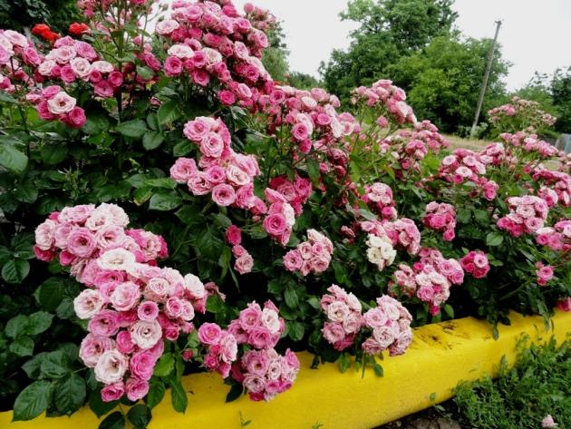 Уход за бордюрными розами в домашних условиях 753