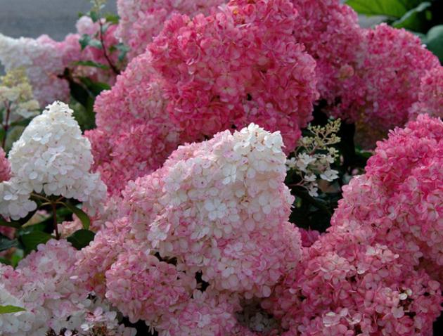 Цветы гортензии посадка и уход 34