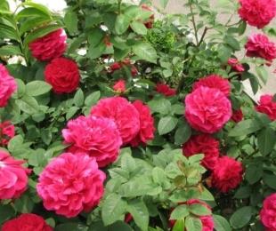 как привить розу к шиповнику пошаговая инструкция с фото - фото 11