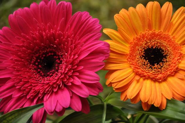 Гербера цветы фото посадка и уход в