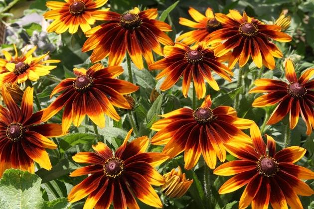 Рудбекия цветок уход