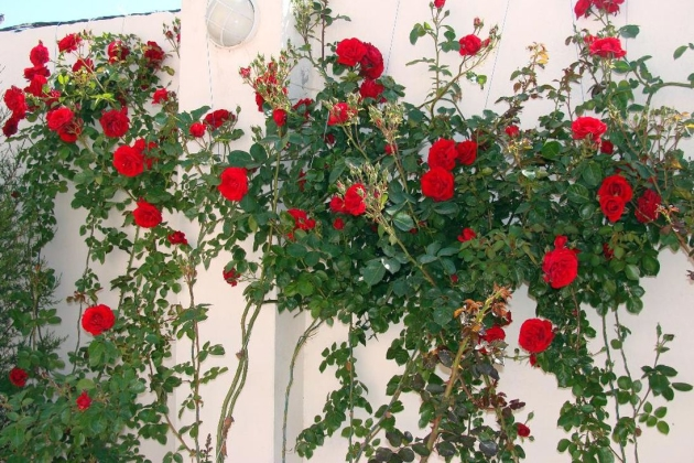 Плетистые розы посадка и уход в открытом грунте для новичков