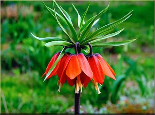 Цветы королевский рябчик