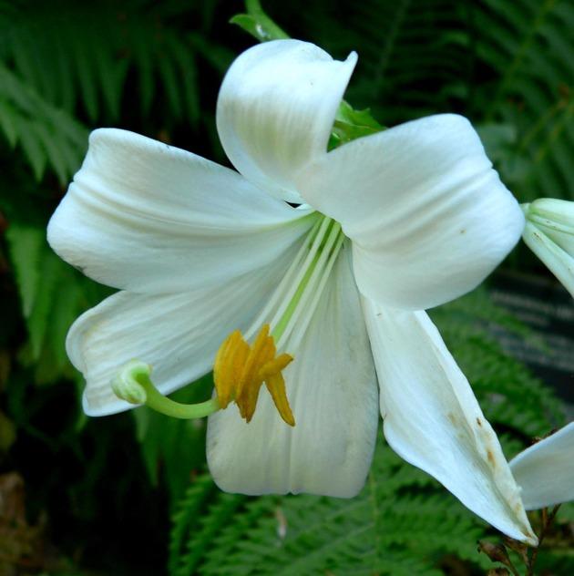 Выращивание и уход за лилиями в открытом грунте
