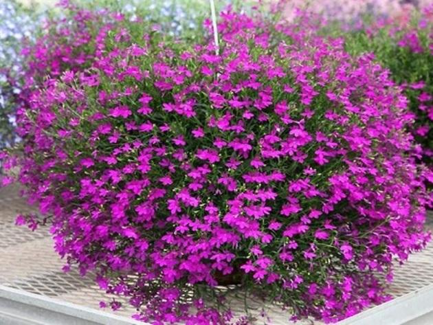 Однолетние висячие цветы фото