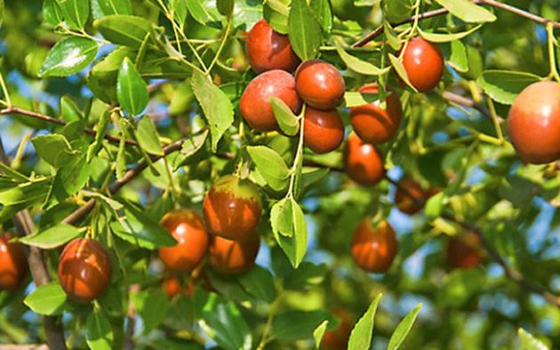 Зизифус, унаби или китайский финик: выращивание экзотического растения