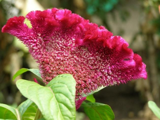 Цветок целозия гребенчатая -посадка и уход 47