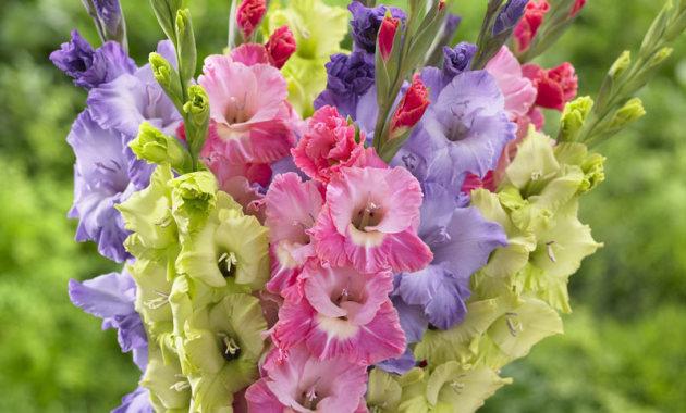 Цветок гладиолус. посадка и уход
