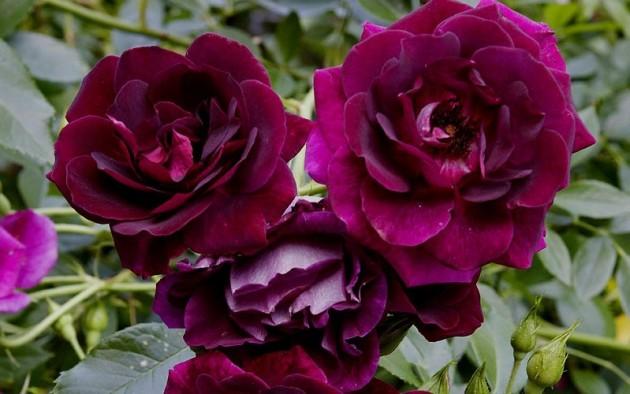Роза флорибунда, посадка и уход