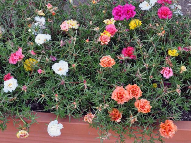 Портулак цветы клумбы фото