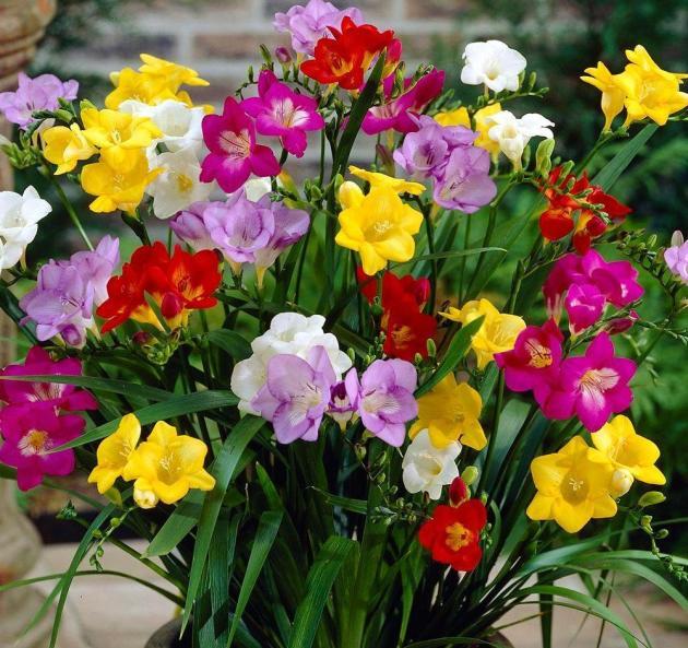 цветы фрезия фото посадка и уход